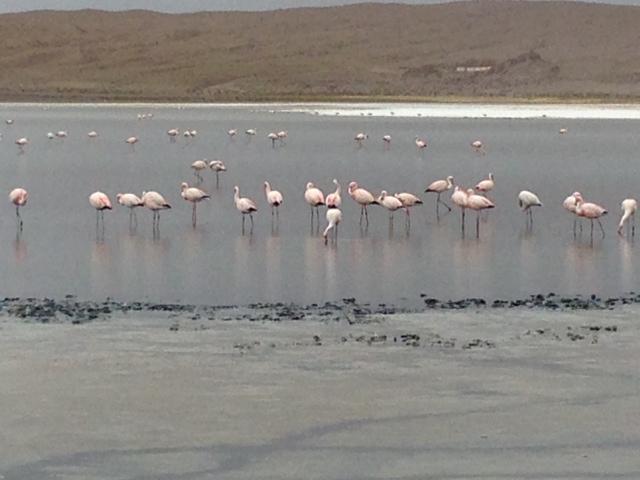 Flamingos Bolívia
